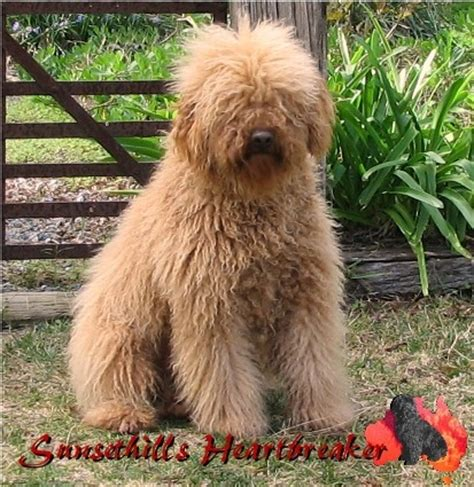 goldendoodle puppies for sale scotland image gallery shepadoodle rescue