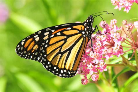 The Monarch Butterfly a farewell to new ideas on the vanishing monarch