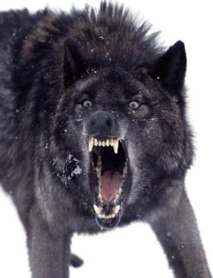 The Beta - Chapter 14 - Page 1 - Wattpad Growling Black Wolf With Yellow Eyes