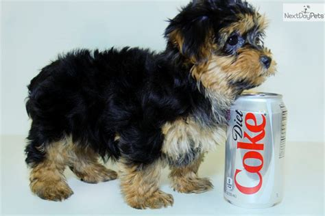 yorkie poo adults pictures black yorkie poo puppy breeds picture