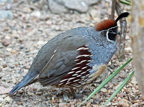 Types Of Backyard Birds File Gambels Quail Rwd Jpg Wikimedia Commons