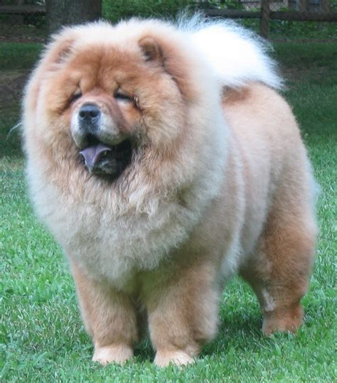 chow pictures chow chow pictures posters news and on your pursuit hobbies interests and