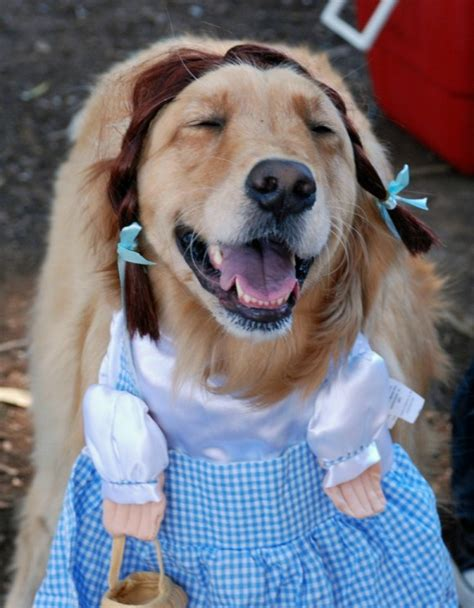 golden retriever costume for humans dogs dressed up for dorothy photomojo kxan