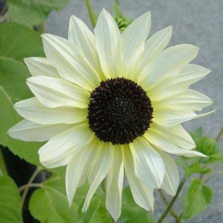Bibit Biji Benih Bunga Italian White Sunflower Matahari bibit bunga sunflower