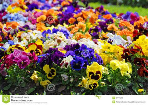Heartsease Flower Garden Close Up Stock Photo Image Garden Flower Images