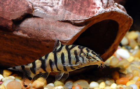 Makanan Ikan Hias Ramirezi mengontrol pertumbuhan hama keong dalam aquascape