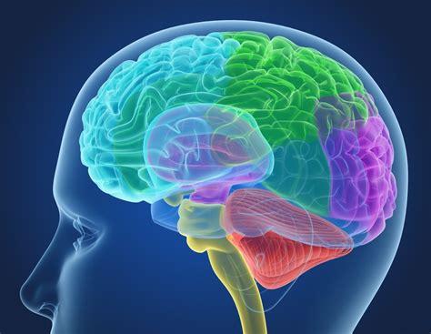 brain x 3d xray human brain anatomy turbosquid 1233727