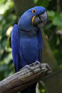 hyacinth macaw wikiwand