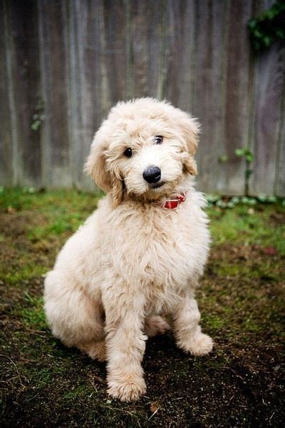 pookie doodle puppy words best 25 poodle haircut ideas on poodle cuts