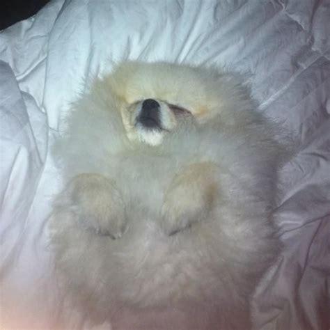 coat pomeranian puppies for sale best 25 pomeranian puppies for sale ideas on pomeranian for sale baby