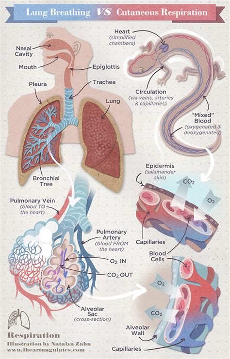 Cutaneous Respiration In Frog Essay by Lung Breathing Vs Cutaneous Respiration Natalya Zahn Illustrator