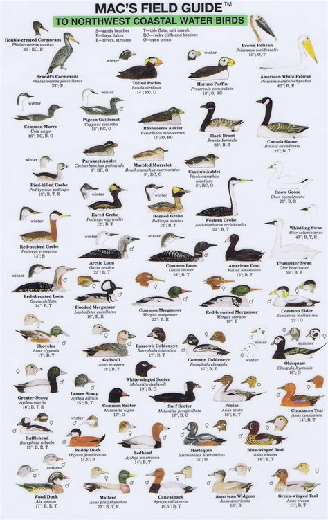 northwest coastal water birds mac s field guide