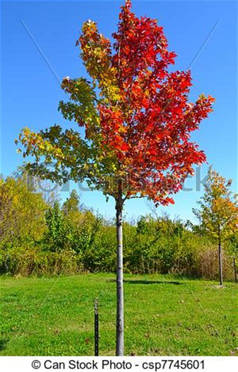 stock photography of leaves changing colors in fall tree