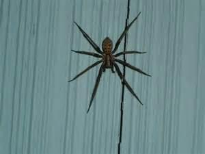 is this a aggressive house spider eratigena
