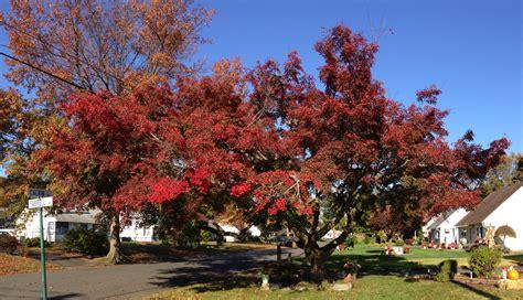 file maple leaf autumn jpg file 2014 10 30 10 21 09 green leaved japanese maple