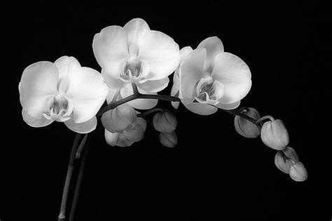 black and white orchid wallpaper 42 black and white orchid tattoos
