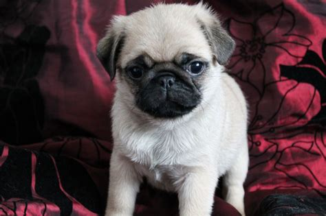 puppy pugs for sale pin pug puppies for sale on