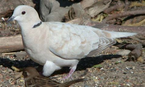 where can i buy ringneck dove eggs page 2 pigeon talk