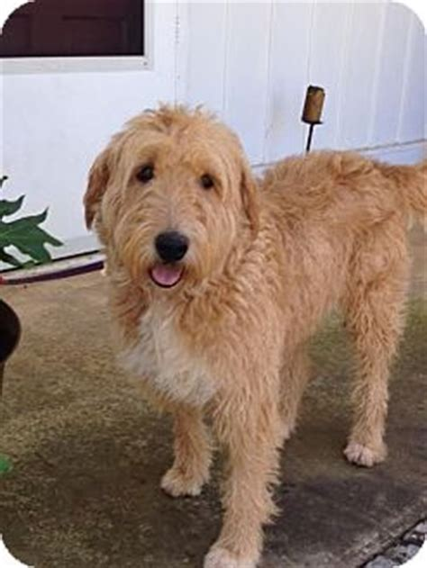 doodle rescue nj atco nj franny adopted new jersey nj