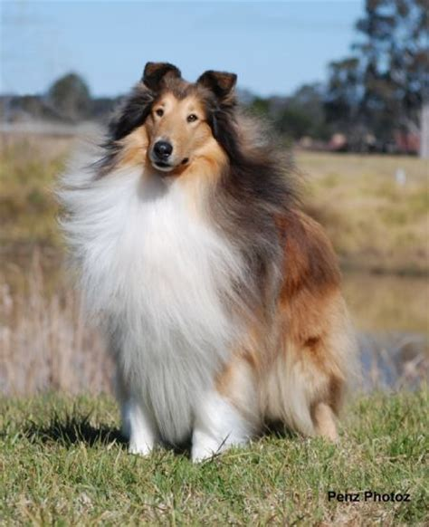 lassie puppies saved by dogs lassie was average for a collie