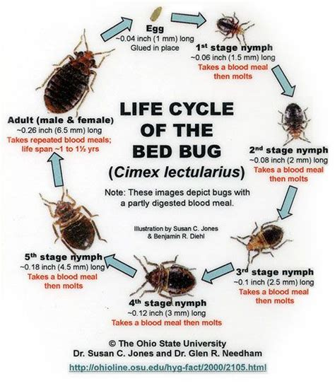 bed bugs pictures stages 12 best how to beat bed bugs images on pinterest bed bug