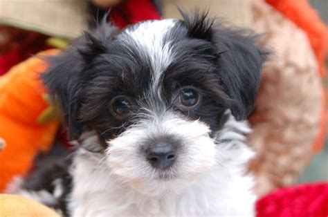 how to take care of a havanese puppy 593 best images about havanese if you on dogs barking and for dogs