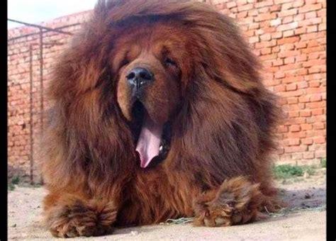 imagenes de leones chidos zoo chino hacia pasar perros mastines tibetanos por leones