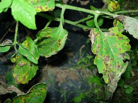 tomato plant leaf diseases pictures how to prevent tomato leaf spot