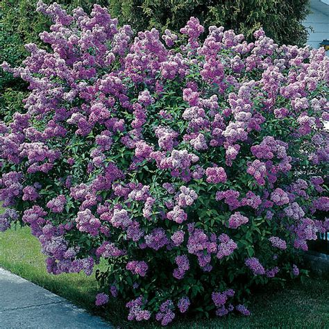 lilac bush cheeky cognoscenti it s a miracle after nixing the