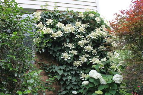 japanese climbing plants mystery plant garden housecalls