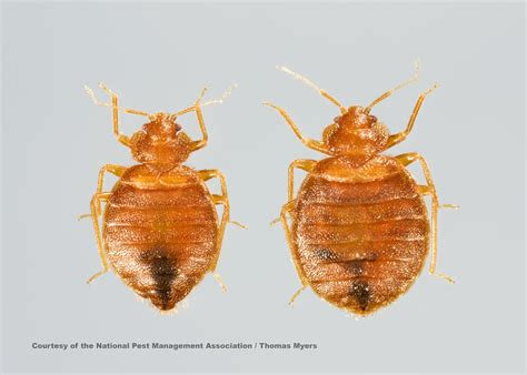 bed bug habitat bed bug facts bed bug prevention information for kids