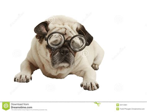 pug in glasses pug with glasses stock image image 34114351