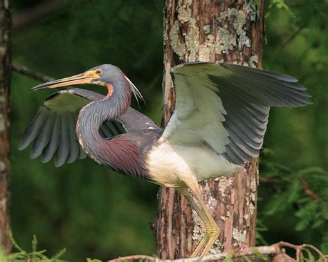 what color is heron tricolored heron audubon field guide