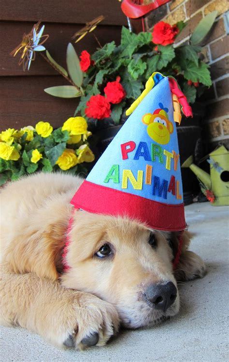 puppy birthday happy birthday finn golden goldenretriever happy