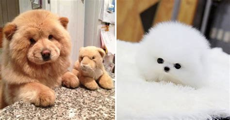 pomeranian that looks like a teddy 33 adorably puppies that look just like teddy bears