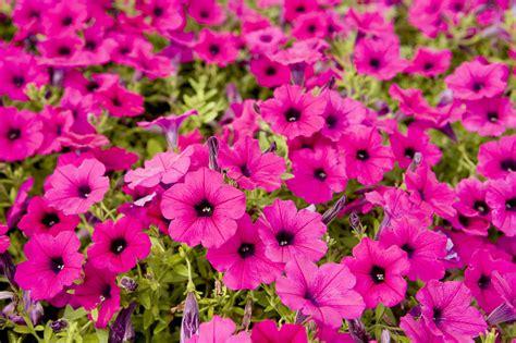 pink flower garden closeup of bright pink garden flowers photograph by tim laman