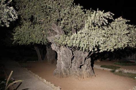 giardino dei getsemani gli ulivi getsemani sono fratelli mondo agricolo