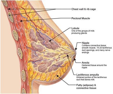 cross section of breast use these