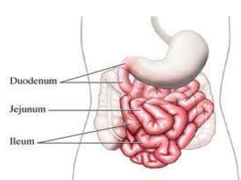 diagram of the intestines image gallery small intestine