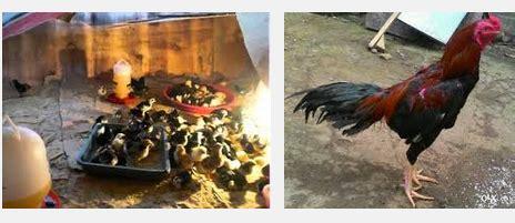 Bibit Ayam Ternak perawatan situs ayam bangkok part 6