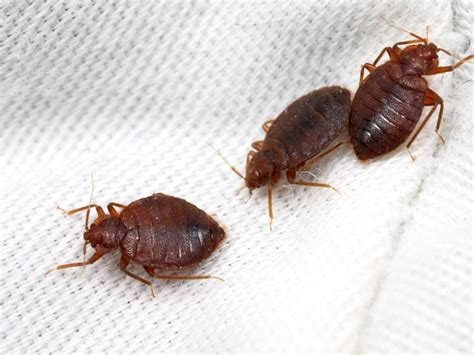 hotel pennsylvania bed bugs bed bugs in pittsburgh pennsylvania bed bug prevention tips