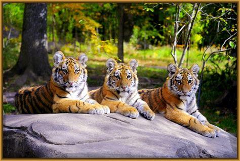 imagenes no realistas de paisajes paisajes con tigres en paisajes naturales fotos de tigres