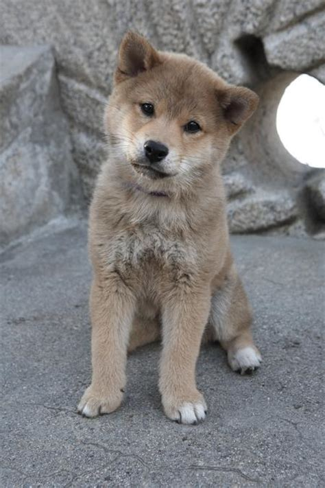 hachi the hachi the akita puppies daily puppy
