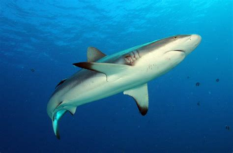 Grey Reef Shark | Animal Wildlife