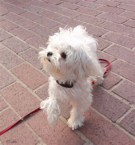 why are they called dogs of the day gucci the teeny tiny maltese the dogs of san franciscothe dogs of