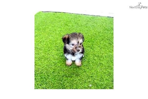 yorkie poo for sale san diego teacup yorkie puppy for sale in san diego breeds picture