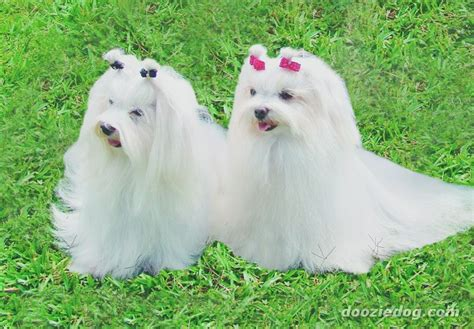 show me some puppies can you show me some maltese pictures gonnit