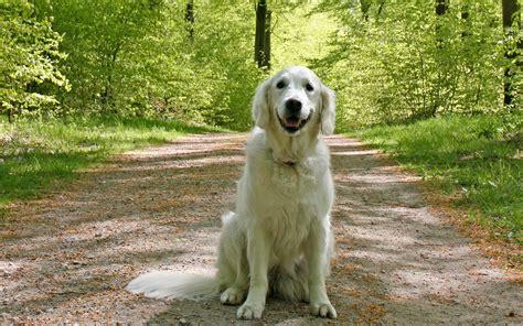 golden retriever espa ol sch 246 ne golden retriever der kostenlosen reichlich fotos niedlichen hunden