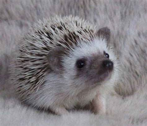 pygmy hedgehog baby pygmy hedgehogs for sale hornchurch essex pets4homes