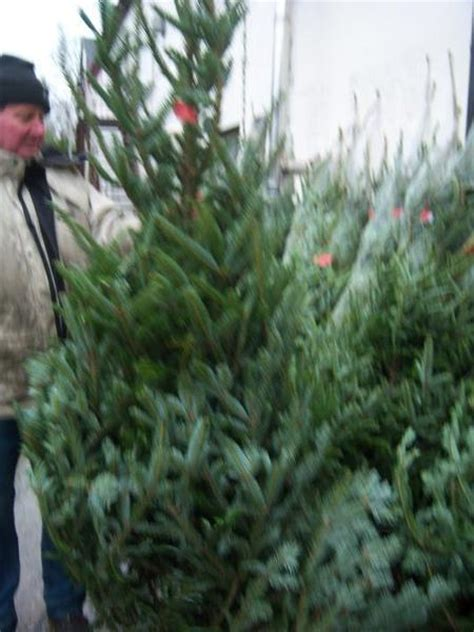 christmas trees for sale buy real christmas trees belfast